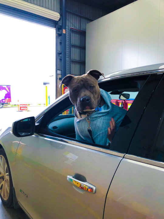 A dog leaning out a car window watching people at the Foodbank drive-thru